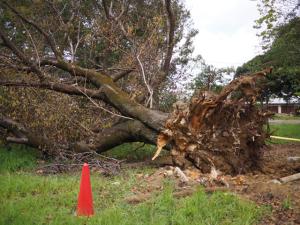 根こそぎ倒れた大木